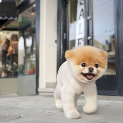 boo world's cutest dog
