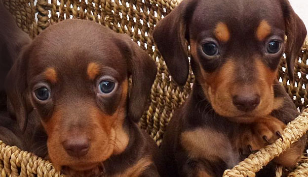 dachshund puppy names