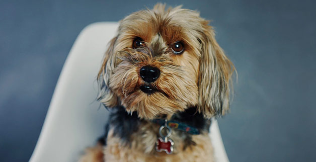 puppy face yorkie