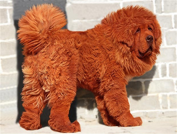 red tibetan mastiff dog