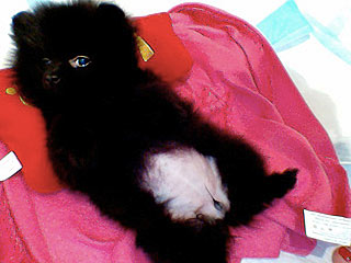 Cute Black Pomeranian Puppy Pictures Cute Black Pomeranian PuppiesCute Black Pomeranian Puppy Pictures