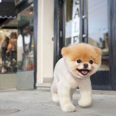 Boo World S Cutest Dog