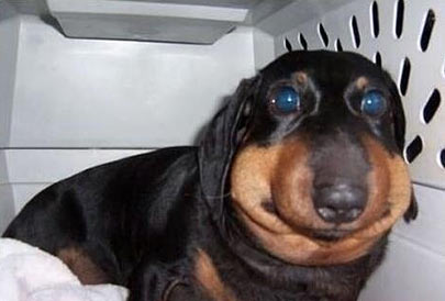 dachshund stung by bee