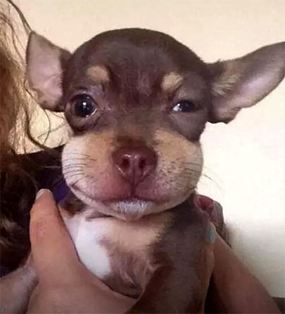 dog stung by bee chihuahua