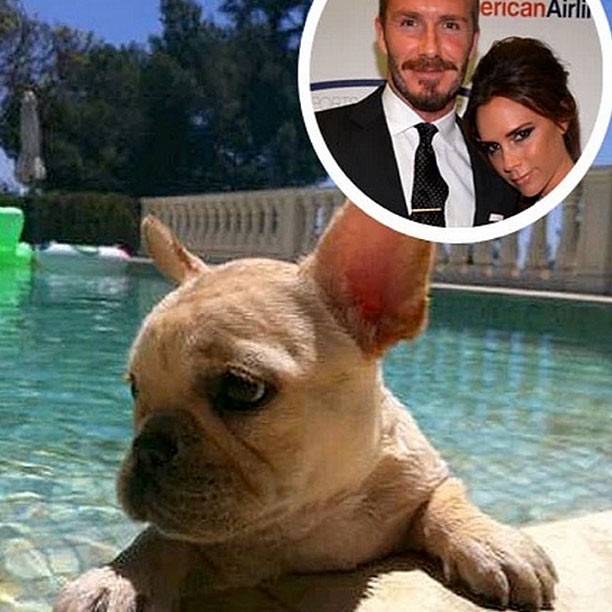 David Beckham French Bulldog Scarlet