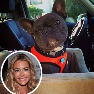 denise richards french bulldog hank