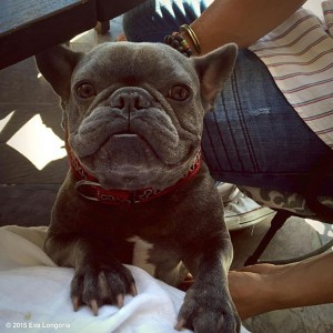 Eva Longoria French Bulldog named Popeye