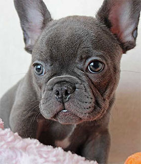 french bulldog name idea boy