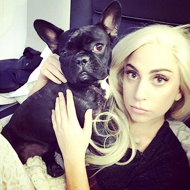 lady gaga french bulldog named asia