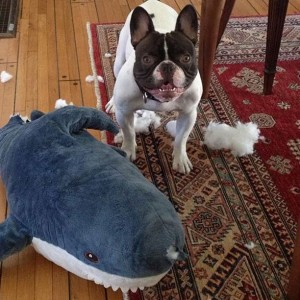 Shaun White French Bulldog Name Steve