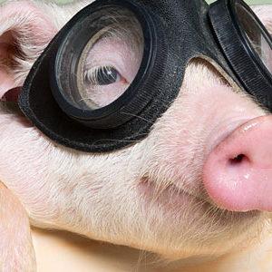 celebrity pet pig
