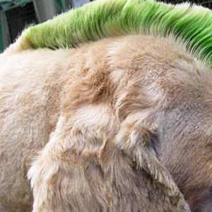 fun dog haircut