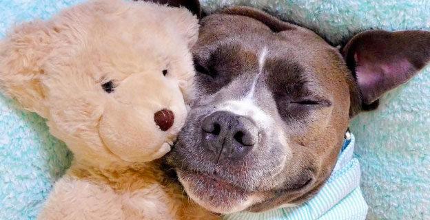 pitbull smiling