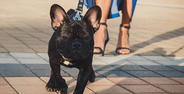 french bulldog being walked