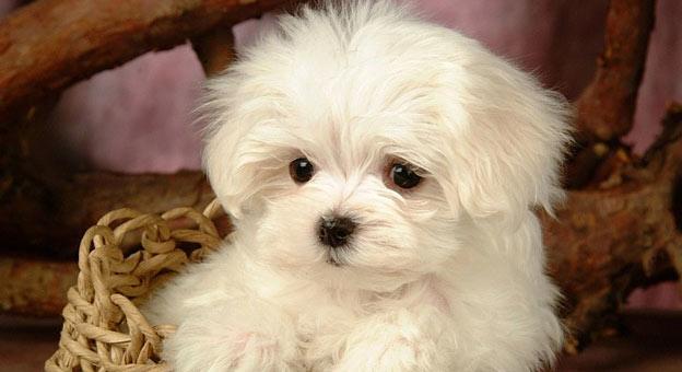 maltese dog italian