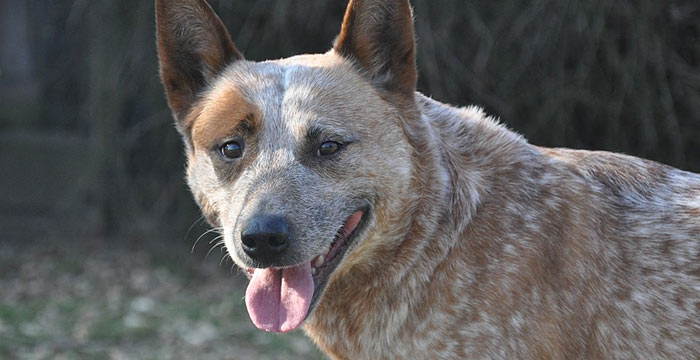 australian cattle dog smart