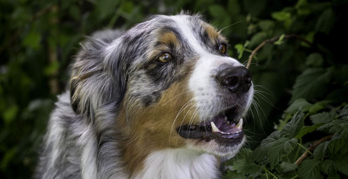 australian shepherd smartest breed