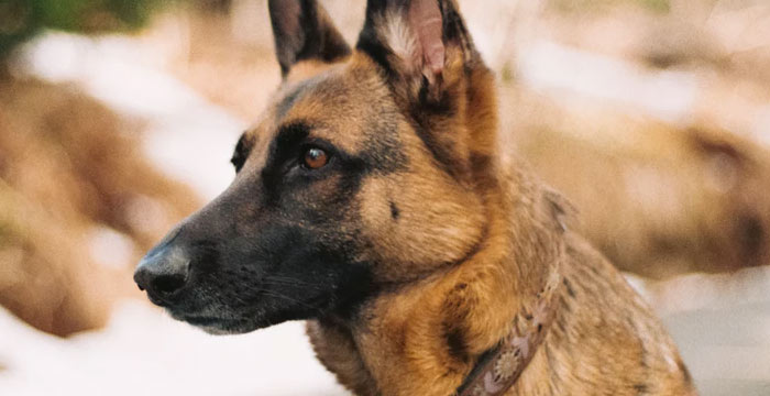 German Shepherd smartest dog breed