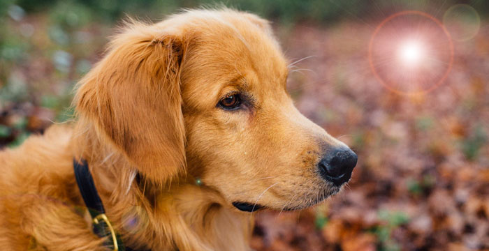 Smartest Dog Breeds: Golden Retriever