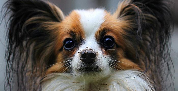 papillon smart dog