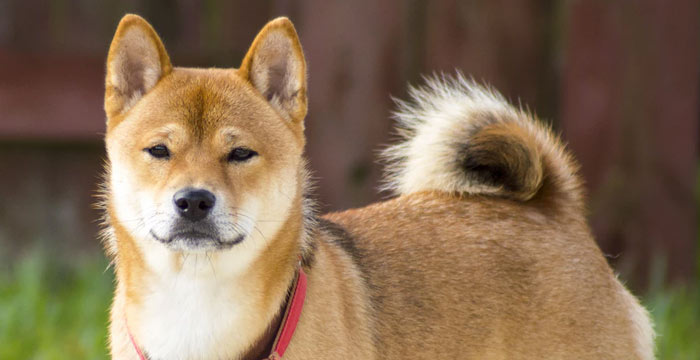 shiba inu smart dog