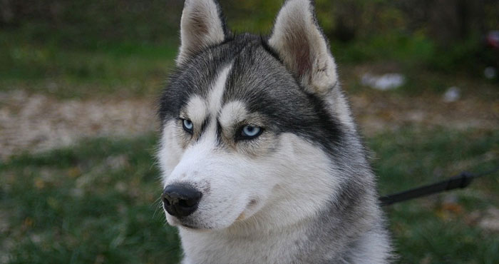siberian husky smartest dog