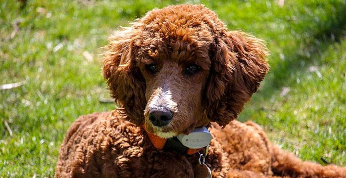 standard poodle smartest dog