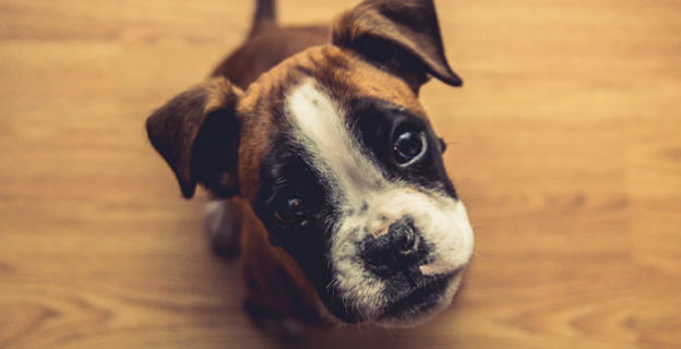 puppy boxer face