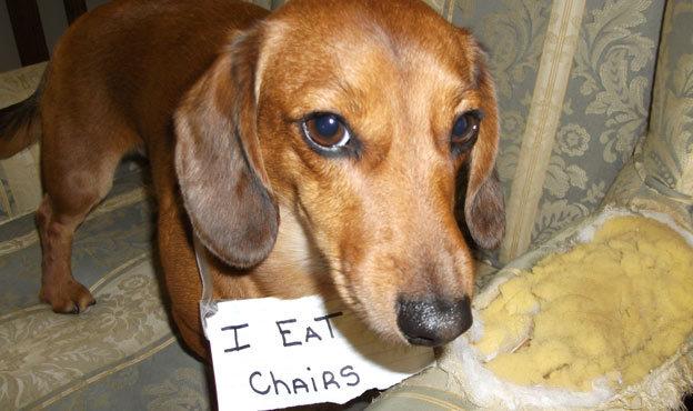 dog eat furniture