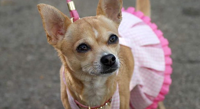 bruiser chihuahua legally blonde
