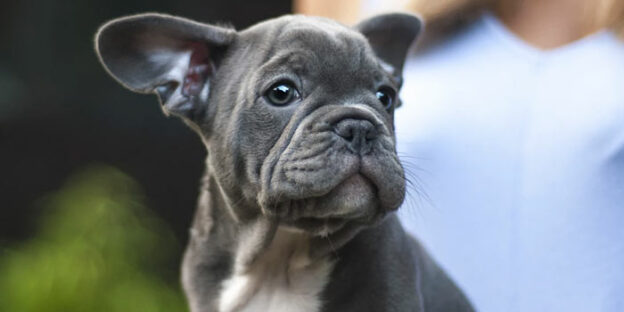 puppy cute french bulldog
